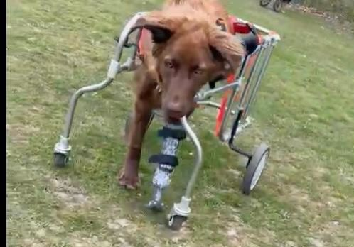 Giselle the disabled dog with prosthetic leg